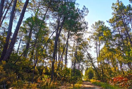 forêt landaise balade à pied