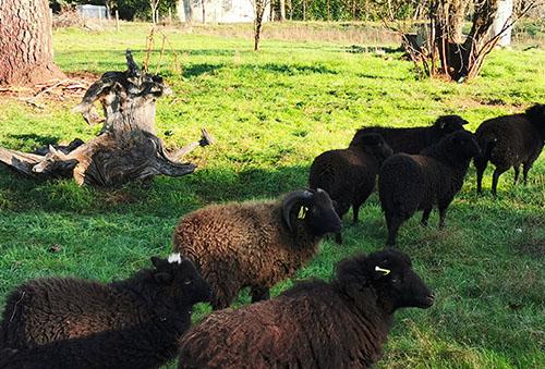 1-Mouton de Pissos landes